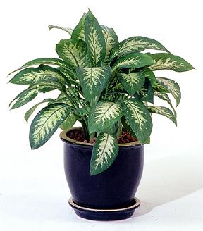 List of Suitable Houseplants with Photos for Indoor ... Names Of Indoor Houseplants on names of vegetables, names of flowers, names of books, names of indoor begonias, low light houseplants, names of shrubs, best houseplants, names of indoor cactus, names of indoor palms, tropical houseplants, most common houseplants, names of vines, names of plants, names of indoor trees, 10 easy houseplants,