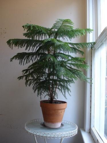 croton plant, codiaeum revolutions plant, codiaeum variegatum plant, on codiaeum plant house