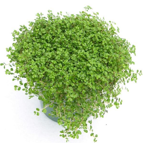 Of my ingredients for my tabletop garden bento box fuchsia