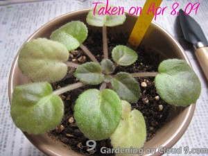 Repotting African Violet