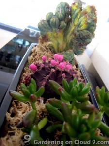 tabletop-cactus-garden-209