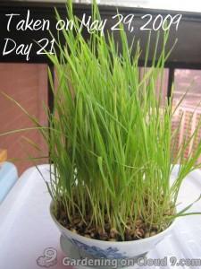 cat-grass-dactylis-21