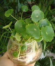 Tabletop-Container-Garden-Pilea-Peperomioides