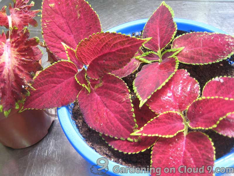 Guidelines and Basic Tips of Plant Propagation from Cuttings - Coleus