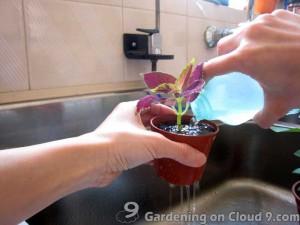 Plant Propagation - Coleus