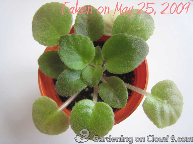 repot-african-violet-08
