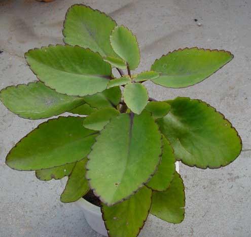 Leaf - Kalanchoe Pinnata Kalanchoe Pinnata