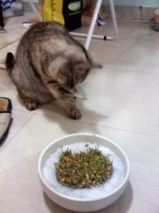 Cat Grass Wheatgrass