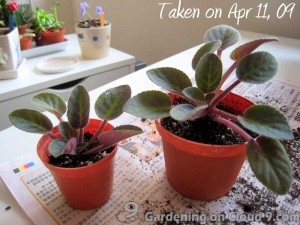 African Violet Care - Seperate Crowns