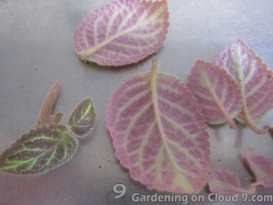 Propagate Flame Violet by Cuttings