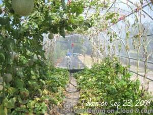greenhouse-hanging-melon-31