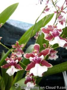orchid-oncidium-dancing-lady-01