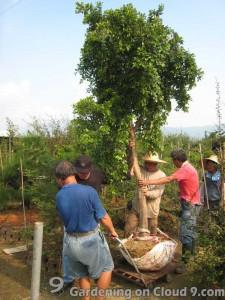 transplanting-tree-05