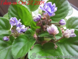African Violet Care - Fertilizer