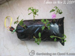 Growing Impatients in a Rubbish Bag