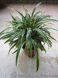 Spider Plant or Bichetii Grass