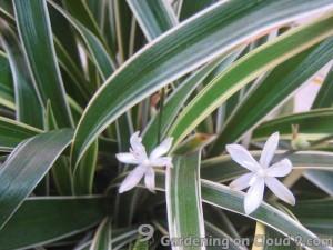 Spider Plant or Bichetii Grass