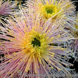 chrysanthemum-07