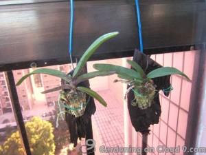 Hanging Vanda Orchid