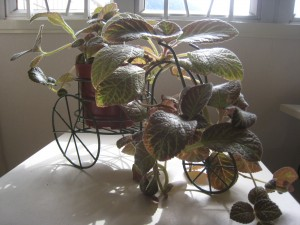 Episcia Ronnie on Bike