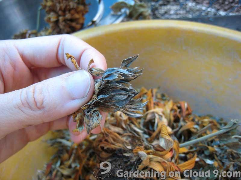 Zinnia Elegans Seedlings Zinnia Elegans Seeds