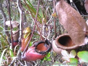 Plants on Mount Kinabalu