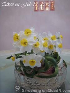 Narcissus Flower