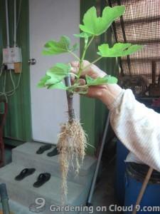 cutting-propagation-fig