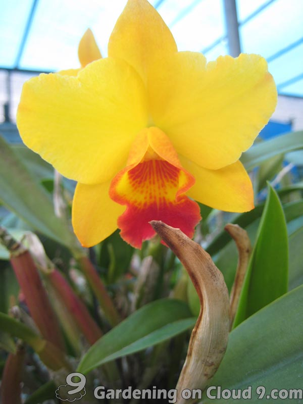 Care of Cattleya Orchids Cattleya Orchids Are Among The