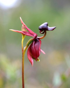 Caleana Orchid